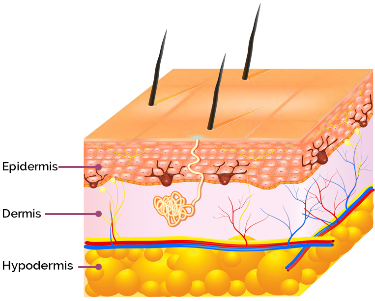 AproDerm Epidermis text