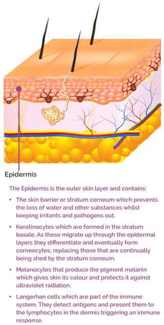AproDerm Epidermis mobile infographic